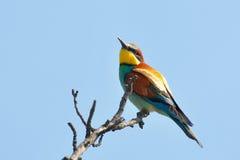 pássaro raro do bee-eater fotografia de stock royalty free