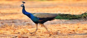 Pássaro real do Peafowl foto de stock royalty free