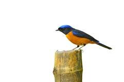 pássaro Rufous-inchado de Niltava Imagens de Stock Royalty Free