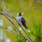 Pássaro ruidoso bonito do mineiro na árvore imagem de stock royalty free