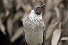Pássaro ruidoso do frade imagem de stock