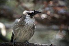 Pássaro ruidoso do frade fotos de stock