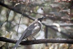Pássaro ruidoso do frade fotografia de stock royalty free