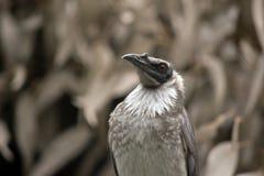 Pássaro ruidoso do frair imagem de stock royalty free