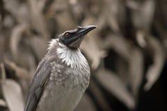 Pássaro ruidoso do frair imagem de stock