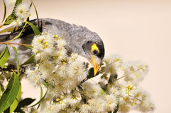 Pássaro ruidoso do mineiro foto de stock royalty free