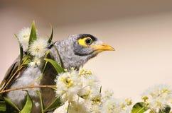 Pássaro ruidoso do mineiro Fotos de Stock