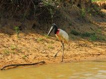 Pássaro-símbolo da região pantanosa brasileira imagens de stock royalty free