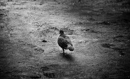Pássaro só que wolking Fotografia de Stock