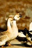 Pássaro selvagem Imagem de Stock