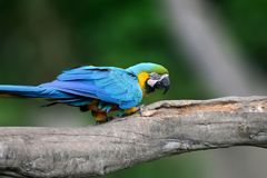 Pássaro selvagem do papagaio, arara Grande-verde do papagaio azul, ambigua das aros Fotografia de Stock