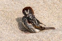 Pássaro selvagem do pardal em uma praia da areia imagens de stock royalty free