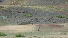 Pássaro selvagem na natureza islandêsa filme