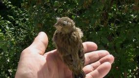 Pássaro selvagem pequeno nas mãos humanas vídeos de arquivo