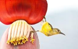 Pássaro na flor da banana imagem de stock royalty free