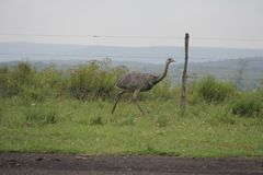 Pássaro típico de Brasil do sul fotografia de stock royalty free