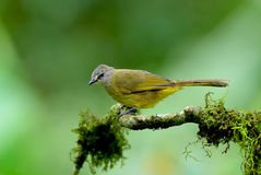 Pássaro, Tailândia Foto de Stock Royalty Free