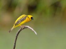 Pássaro (tecelão dourado asiático), Tailândia Imagem de Stock