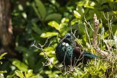 Pássaro tomando sol de tui Foto de Stock