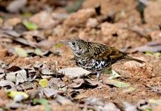 Pássaro (tordo escamoso), Tailândia Imagens de Stock