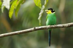 Pássaro tropical colorido Foto de Stock Royalty Free