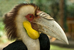 Pássaro tropical do rinoceronte, hornbill, retrato: a plumagem leve na cabeça com mohawk marrom, amarelo brilhante descascou o bó Fotos de Stock