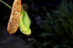 Pássaro tropical que come o alimento Imagem de Stock Royalty Free
