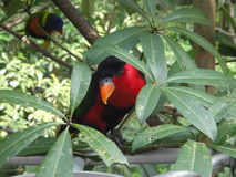 Pássaro tropical que espreita para fora através das folhas fotografia de stock royalty free