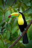 Pássaro tropico Tucano que senta-se no ramo na floresta, vegetação verde Feriado do curso da natureza em América Central T Quilha fotografia de stock