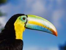 Pássaro Tucan Fotografia de Stock