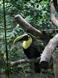 Pássaro Tucan Imagens de Stock