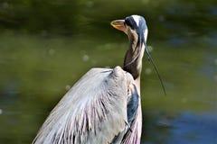 Pássaro vadeando de garça-real de grande azul grande foto de stock
