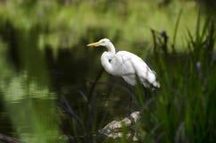 Pássaro vadeando de pernas longas do grande Egret branco fotografia de stock