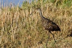 Pássaro vadeando dos íbis lustrosos Foto de Stock Royalty Free