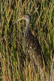 Pássaro vadeando dos íbis lustrosos Fotos de Stock Royalty Free