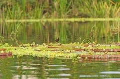 Pássaro vadeando em lírios de água gigantes Imagem de Stock