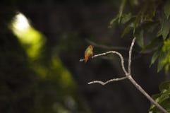 Pássaro verde e alaranjado pouco do zumbido em um ramo de árvore fotos de stock