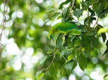 Pássaro verde em um ramo de árvore Fotografia de Stock Royalty Free