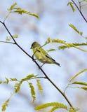 Pássaro verde na árvore Fotografia de Stock Royalty Free