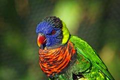 Pássaro Verde-Naped colorido de Lorikeet Foto de Stock Royalty Free