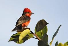 Pássaro vermelho Imagens de Stock