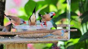 Pássaro vermelho-cheeked de Cordon bleu Imagens de Stock