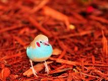 Pássaro vermelho-cheeked de Cordon bleu nas microplaquetas de madeira Imagens de Stock Royalty Free