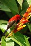 Pássaro vermelho com flor Imagens de Stock Royalty Free