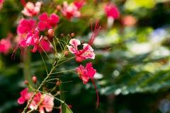 Pássaro vermelho do pulcherrima do Caesalpinia do fim da flor de paraíso acima de Tobago Fotos de Stock Royalty Free