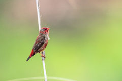 Pássaro vermelho em um junco Foto de Stock