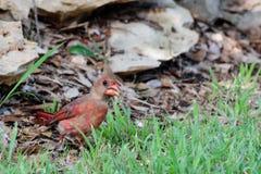 Pássaro vermelho na grama Imagens de Stock