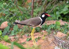 Pássaro vermelho-wattled de Indicus do Vanellus do galispo na terra que protege seu território Fotos de Stock