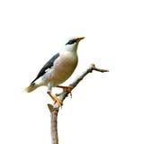 Pássaro (Vinous - estorninho breasted) isolado no fundo branco Imagens de Stock