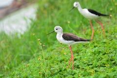 Pássaro voado preto do pernas de pau Fotos de Stock Royalty Free